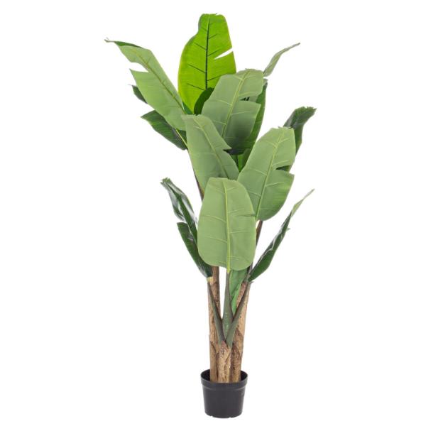 Banano 16 foglie